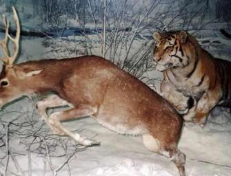 Idaho Man Using Pet Tiger To Hunt Deer