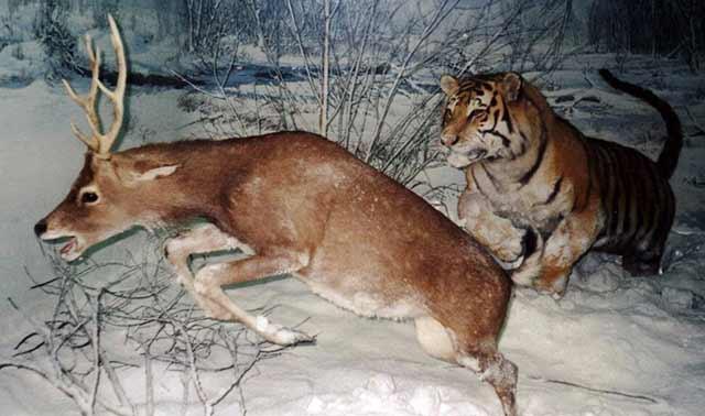 Tiger_hunting-deer