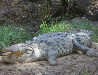 Woman Sends Crocodile To Hospital