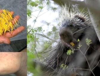 Stupid Man Slaps Porcupine