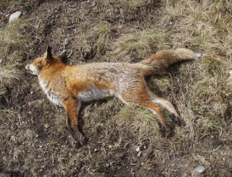 Texas Boy Strangles Fox To Death